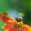 Honey bee (Apis mellifera) on helenium flower - Stok fotoğraf