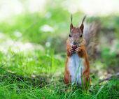 Eurasian red squirrel (Sciurus vulgaris) — Stockfoto