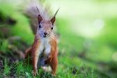 Eurasian red squirrel (Sciurus vulgaris) — Stok fotoğraf