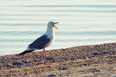 Common Gull (Larus canus) — Photo