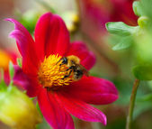 Honey bee (Apis mellifera) on dahlia flower — Stock Photo