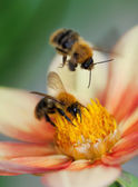 Two honey bees on dahlia flower — Stock Photo
