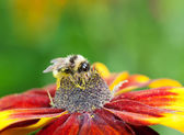 Honey bee (Apis mellifera) on cone flower — Stock Photo