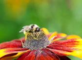 Honey bee (Apis mellifera) on cone flower — Stock Photo