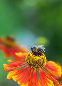 Honey bee (Apis mellifera) on helenium flower — Stock Photo