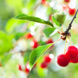 Cherries — Stock Photo #13371312