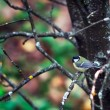 Great Titmouse (Parus major) - Stock Photo