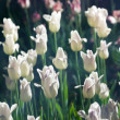 Stock Photo: White tulips