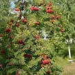 Stock Photo: Rowbush with red fruits