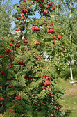 Rowan bush with red fruits — Stock Photo