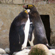 Macaroni Penguins - Eudyptes chrysolophus — Stock Photo