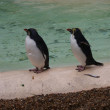 Northern Rockhopper Penguin - Eudyptes moseleyi — Stock Photo
