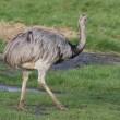 Common Rhea - Rhea americana — Stock Photo #12250663