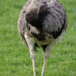 Common Rhea - Rhea americana — Stock Photo #12250673