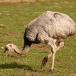 Common Rhea - Rhea americana — Stock Photo #12250676