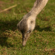 Common Rhea - Rhea americana — Stock Photo