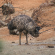 Emu - Dromaius novaehollandiae — Stock Photo #12250758