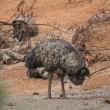 Emu - Dromaius novaehollandiae — Stock Photo