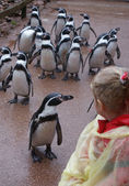 Infant meets Humboldt Penguins — Stock Photo