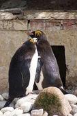 Macaroni Penguins - Eudyptes chrysolophus — Stock Photo