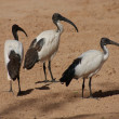 African Sacred Ibis - Threksiornis aethiopicus - Stock Photo
