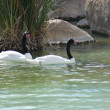 Black-necked Swan - Cygnus melanocoryphus - Stock Photo