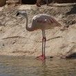 Stock Photo: ChileFlamingo - Phoenicopterus chilensis