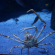 Giant Spider Crab - Macrocheira kompjuteri - Stock Photo