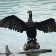 Great Cormorant - Phalacrocorax carbo — Stock Photo