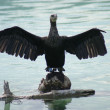 Great Cormorant - Phalacrocorax carbo - Stock Photo