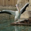 Great White Pelican - Pelecanus onocrotalus - Stock Photo