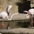 Fight of the Greater Flamingo - Phoenicopterus roseus — Stock Photo