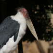 Marabou Stork - Leptoptilos crumeniferus - Stock Photo