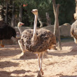 Ostrich - Struthio camelus - Stock Photo