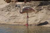 Chilean Flamingo - Phoenicopterus chilensis — Stock Photo