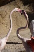 Fight of the Greater Flamingo - Phoenicopterus roseus — Stock Photo