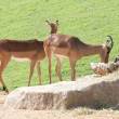 Impala - Aepyceros melampus — Stock Photo