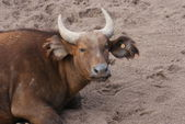 African Forest Buffalo - Syncerus caffer nanus — Stock Photo