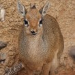 Kirk's Dik-dik — Stock Photo