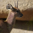 Klipspringer - Oreotragus oreotragus - Stock Photo