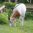 Stock Photo: Scimitar Oryx - Oryx dammah