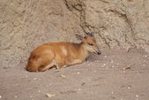 Red-flanked Duiker - Cephalophus rufilatus — Stock Photo