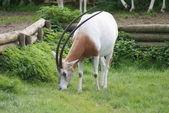 Scimitar Oryx - Oryx dammah — Zdjęcie stockowe
