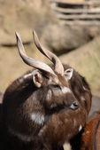 Sitatunga - Tragelaphus spekeii — Stock Photo