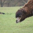 Bactrian Camel - Camelus bactrianus - Stock Photo