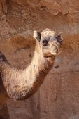 Dromedary Camel - Camelus dromedarius — Stock Photo