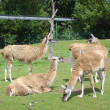 Guanaco - Lama guanicoe — Stock Photo