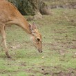 Brow-antlered Deer - Rucervus eldii — Stock Photo