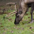 Stock Photo: Reindeer - Rangifer tarandus