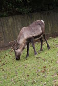 Reindeer - Rangifer tarandus — Stock Photo